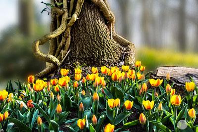 Bild: Baum stamm umgeben von gelben Tulpen im Keukenhof in Holland, wwww.2u-pictureworld.de