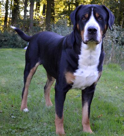 Levi von den Wonneproppen Großer Schweizer Sennenhund steht und schaut frontal zur Kamera