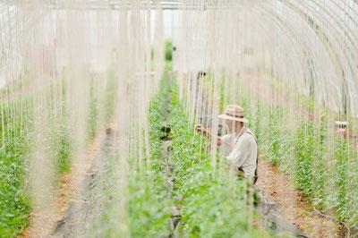 Betriebsleiter Karl Ohmes im Gewächshaus zwischen den Tomatenpflanzen