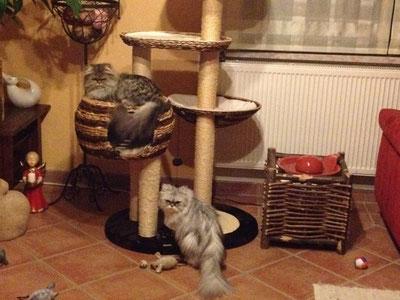 Die Perserkatzen Bonny und Kitty (Mama und Tochter) haben gemeinsam ein tolles liebevolles Zuhause gefunden :-)