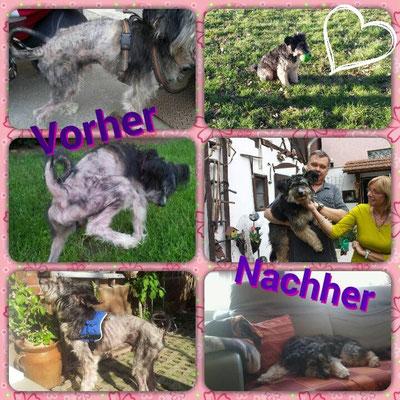 Schaut euch diesen Unterschied an, Anton damals und heute... Wahnsinn, dieser schwerst vernachlässigte und Kranke Hund sieht heute wunderschön aus :-)