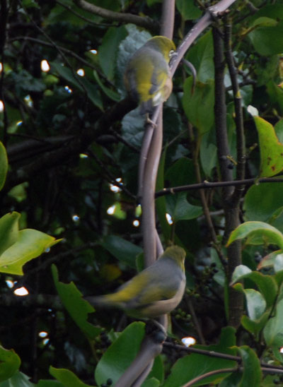 Two Silvereye near Ackers Point.