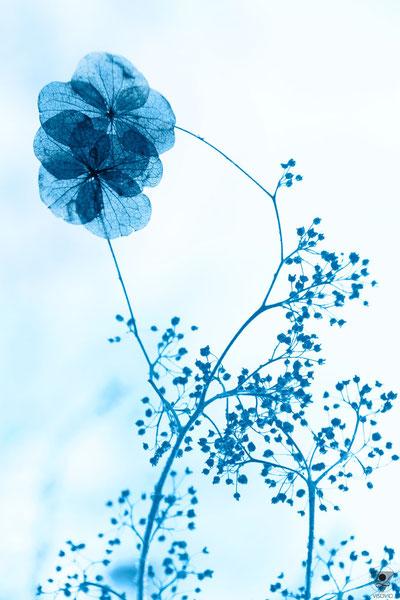 fragile flowers   | pantone classic blue 2020 VISOVIO  | www.visovio.de