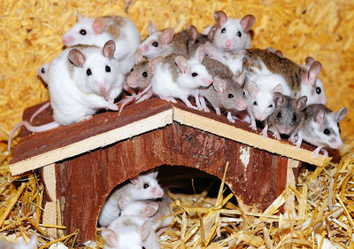 Mäuse im Käfig