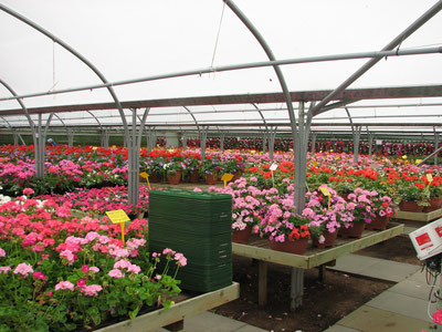 Greenhouse with floriculture crops on benches.