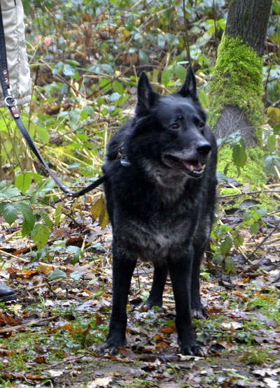 Gismo, Schäferhund