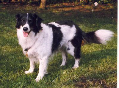 Tina (Tochter von Sonny)Turnierhundesport, BH, Agility A1-A3 wurde 13 1/2 Jahre alt