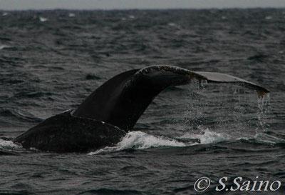 親子クジラ、本部海域で・・・