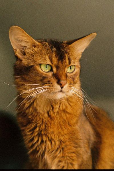 Somali-Katze wildfarben, Cattery on Tiptoe
