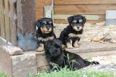 Havaneser-Welpen in black & tan, Havaneser Züchterin, Havaneser, Havanese puppies, Havanese breeder in Germany