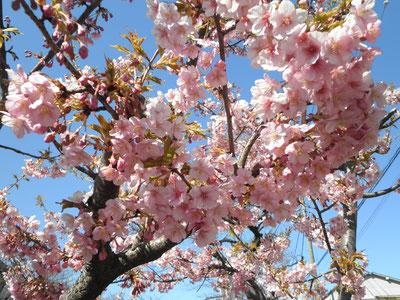 河津桜の拡大です  3月11日 大塚和比古