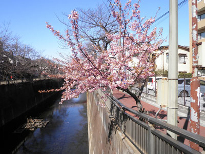板橋区・中根橋のたもとの河津桜