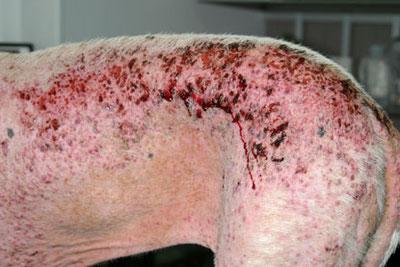 Lésions très sévères de démodécie canine