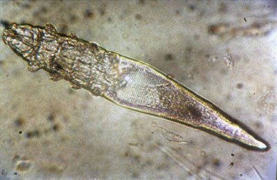 Photo 1 : Demodex canis