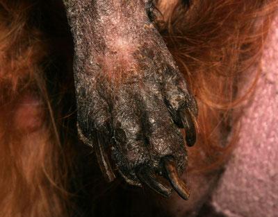 Signes cliniques et traitement de la teigne chez le chien