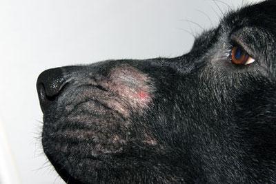 Démodécie du chien : Lésions de la face