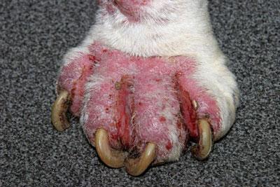 Démodécie du chien : Lésions podales