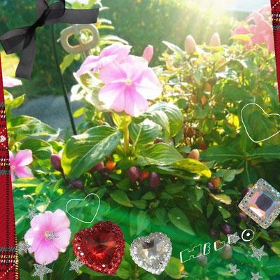 朝日を浴びた花はとてもイキイキしています。
