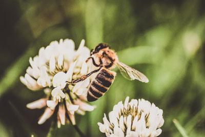 Makrofotografie einer Biene am Klee