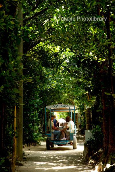 備瀬のフクギ並木をゆく水牛車 沖縄の風景