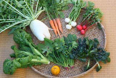 自然栽培(無農薬・無肥料)の旬野菜セット(大根、人参、かぶ、ラディッシュ、かつお菜、ほうれん草、タァサイ、ゆず)