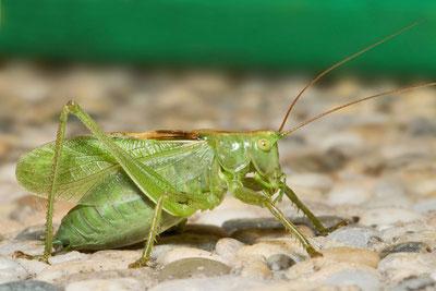Vortrag Verhaag/Schäfer: Zwitscherschrecke Tettigonia cantans © Bernie Kohl, Wikimedia