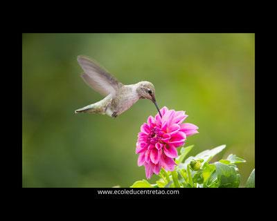 Colibri sur une fleur de dahlia.