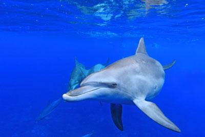 御蔵島ドルフィンスイムツアー:イルカ