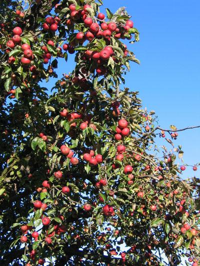 Unsere Äpfel warten auf die Erntehelfer