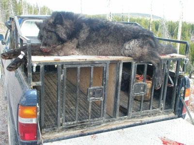 Hound hunter dog box w/ dead wolf