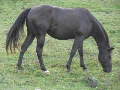 Solena Quarter-Horse