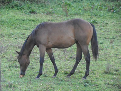 Chicca Quater-Horse