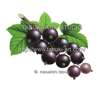 ブラックカラント Blackcurrant カシス cassis 黒スグリ ジューシー レンタルイラスト フルーツイラスト fruit illustration