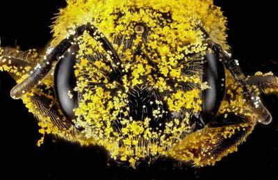 Bei ihrem Blütenbesuch ist eine Wildbiene zunächst über und über mit Pollen bepudert, der abhängig von der Transportmethode (Bauchsammler/Beinsammler)  an einzelnen Körperteilen konzentriert wird