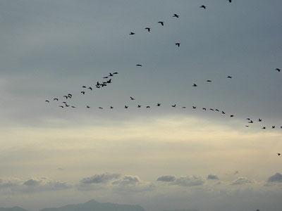 migratory birds!