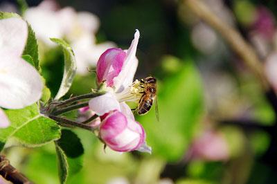 Biene an einer Apfelblüte beim Bestäuben