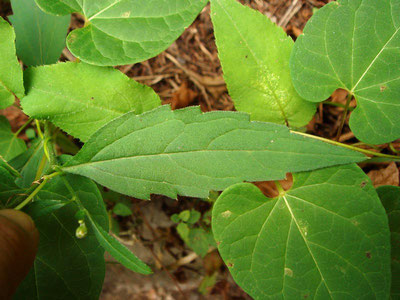 未同定のキク科植物1の葉