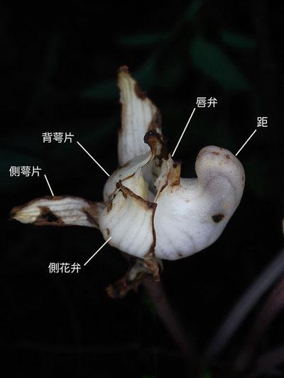キバナノショウキラン 花の側面