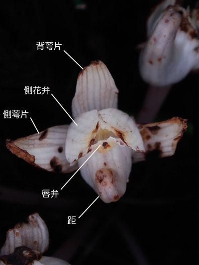 キバナノショウキラン  花の正面