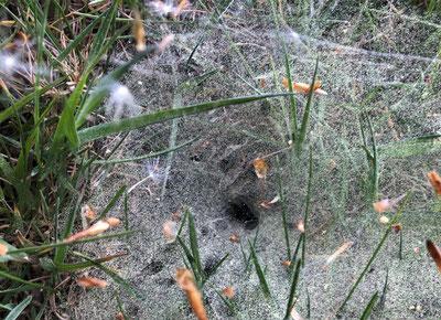 Filigranes Spinnennetz voller Blütenstaub