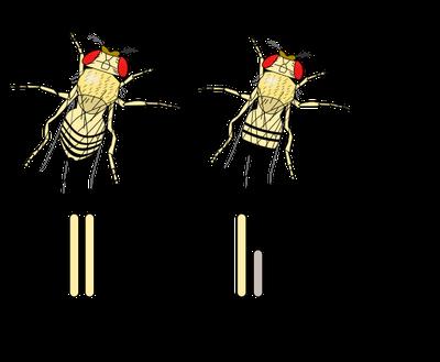Détermination du sexe chez la drosophile (= mouche du vinaigre). Source: wikipédia.