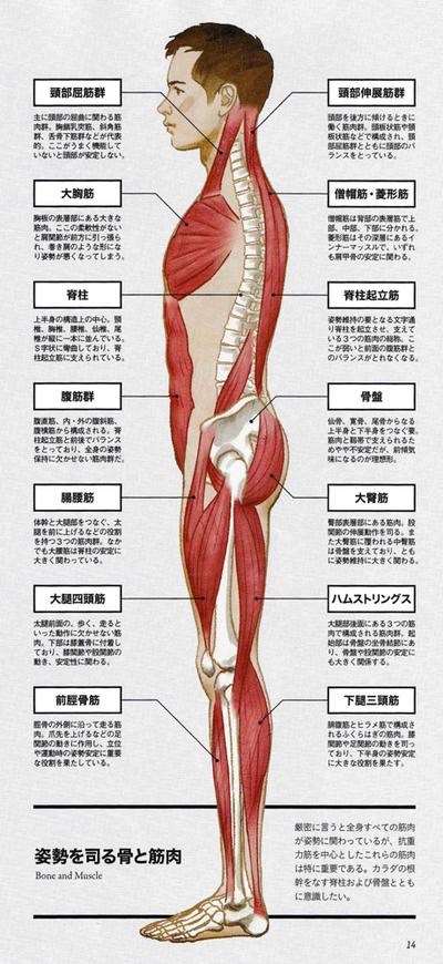 抗重力筋(姿勢を支えている筋肉)