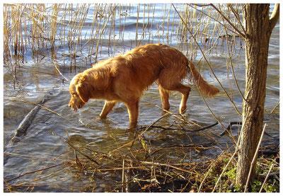 Ein Hund geht durch die Uferzone eines Sees.