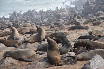 Самая большая колония морских котиков Cape Cross