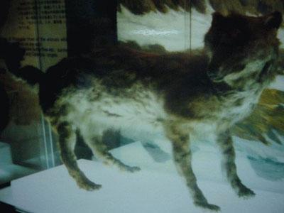 ´Hokkaido-Wolf, Wikipedia c) Katuuya