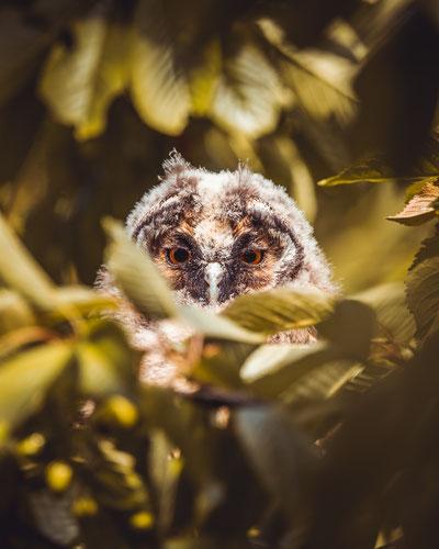 Junge Waldohreule Foto: J .May