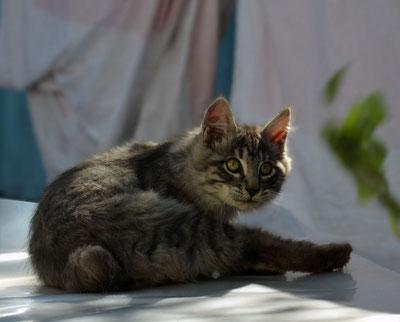 Продам котика курильского бобтейла