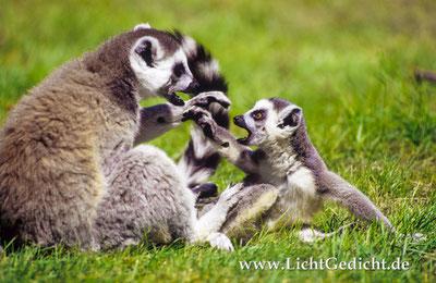 Trotzphase (Kattas, Lemur catta), Nikon F 100, Nikkor 2.8/80-200mm, Kodak Elite Chrome 100 Extra Colour