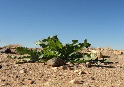 Rughetta selvatica nel deserto del Marocco