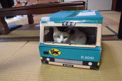 KY宅配車に乗る飼い猫、「こぷち」